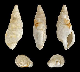 Buccinoidea - Image: Colubraria tortuosa 01
