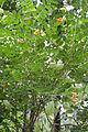 Colutea orientalis - Feuillage.jpg