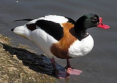 Common.shelduck.2.arp.750pix.jpg