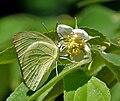 Common Emigrant (Catopsilia pomona) on Singapur cherry (Muntingia calabura) W IMG 9605.jpg