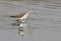 Common Greenshank, Tringa nebularia (I think) at Borakalalo National Park, South Africa (9900253025).jpg