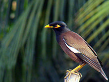Common Myna by Nabarun.jpg
