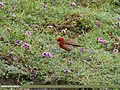 Common Rosefinch (Carpodacus erythrinus) (37597632861).jpg