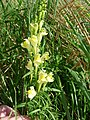 Common Toadflax (Linaria vulgaris) in a meadow - geograph.org.uk - 1446485.jpg