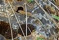 Common Wall Lizard (Podarcis muralis) (10072521724).jpg