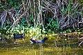 Common gallinule (32536982093).jpg