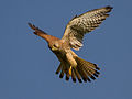 Common kestrel in flight.jpg