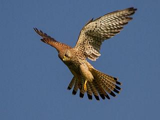 Sokol myšiar (lat. Falco tinnunculus)