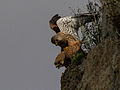 Common kestrels mating.jpg