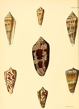 Conchologia iconica, or, Illustrations of the shells of molluscous animals (Conus, Plate 6) (6030073266).jpg