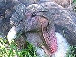 Condor kop.jpg