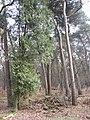 Coniferen (30364933723).jpg