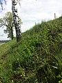 Conringia orientalis sl1.jpg