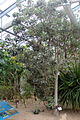 Conservatoire botanique national de Brest-Rothmannia annae-15 07 01-ClaudePERON (20033922479).jpg