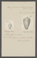 Conus columba - - Print - Iconographia Zoologica - Special Collections University of Amsterdam - UBAINV0274 085 10 0048.tif