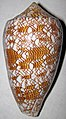 Conus textile (textile cone snail) 4 (30876171420).jpg