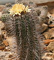 Copiapoa marginata 03.jpg