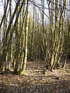 Coppiced trees at Hydon Heath, Hambledon - geograph.org.uk - 171746.jpg