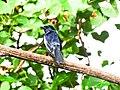Copsychus saularis, Oriental magpie-robin.jpg