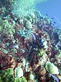 Coral very colorful with red in Wayaka (7342670064).jpg