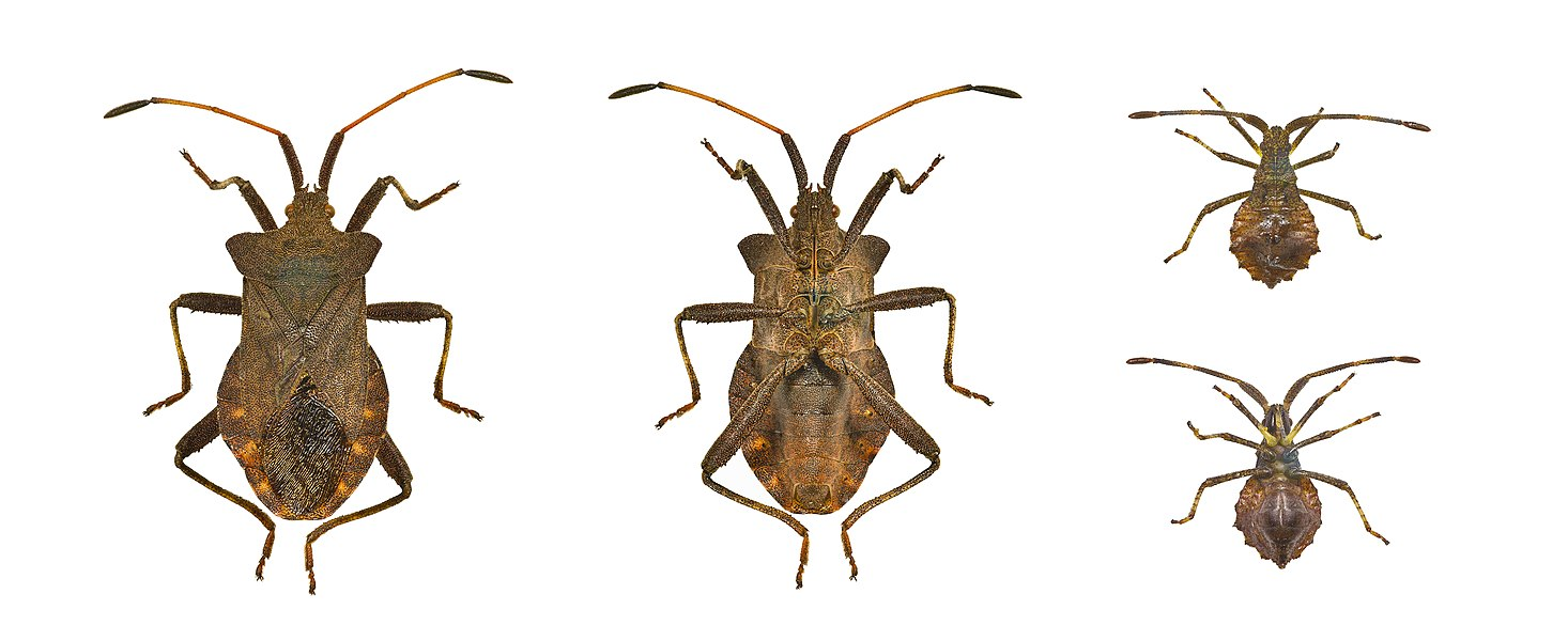 Dock bug. Dorsal and ventral view of adult and early instar.   Locality: Fronton, Midi-Pyrénées, France   Size :  (antennae and legs off) : Adult 14 mm.- Juvenile 6.9mm