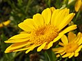 Corn Marigold (Glebionis segetum) (8141581220).jpg