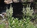 Corn lilies against shade.jpg