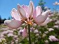 Coronilla varia - crownvetch - Flickr - Matt Lavin (4).jpg