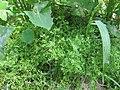 Coronopus didymum plant (03).jpg