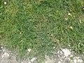 Coronopus squamatus plant (08).jpg