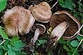 Cortinarius pseudorubricosus group 198467.jpg