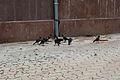 Corvus splendens gathering.jpg