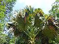 Corypha umbraculifera-Jardin botanique de Kandy (5).jpg