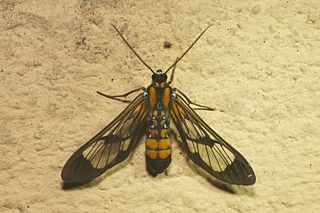 <i>Cosmosoma</i> Genus of moths