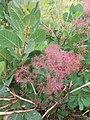 Cotinus coggygria, familija Anacardiaceae 01.jpg