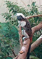 Cotton-top tamarin.jpg