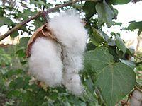 Cotton - പരുത്തി 03.JPG