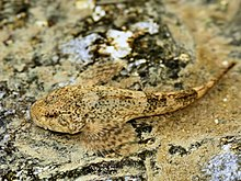 Cottus gobio (in situ).jpg
