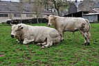 Couple of Bos Taurus in Comblain Fairon.jpg