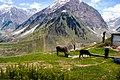 Cows in Lalazar Valley.jpg