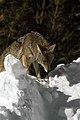 Coyote028 (26331180953).jpg