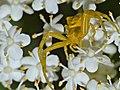 Crab Spider (Thomisus onustus) (14484065891).jpg