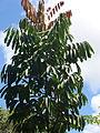 Crabwood tree.JPG