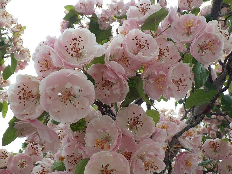 File:Crataegus laevigata flowers.jpg