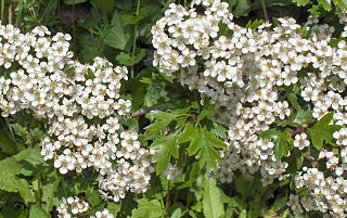 Hloh jednosemenný - kvety