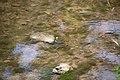 Creek Snake (42861985661).jpg