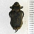 Cremastocheilus knochii LeConte, 1853 - 5435762629.jpg