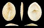 Crepidula arenata 01.JPG