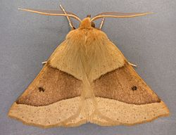Crocallis elinguaria, Scalloped Oak, Berwyns, North Wales, Aug 2005 (20923023459).jpg