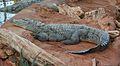 Crocodile-du-nil-01 cropped.jpg